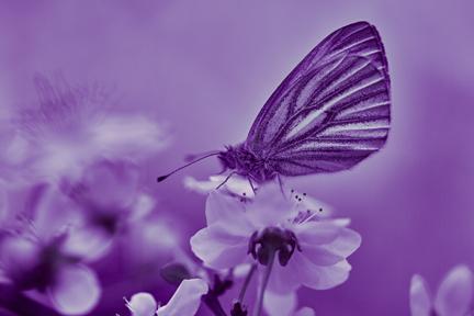 Lilacs in Lavender Light